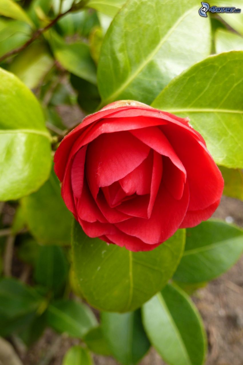 red rose, green leaves