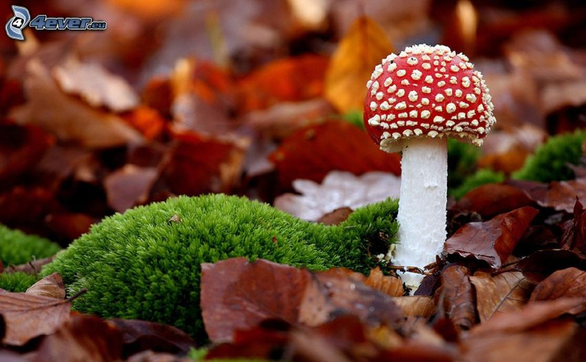red toadstool, moss, dry leaves