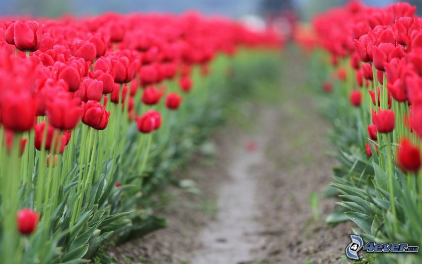 red tulips, field, path