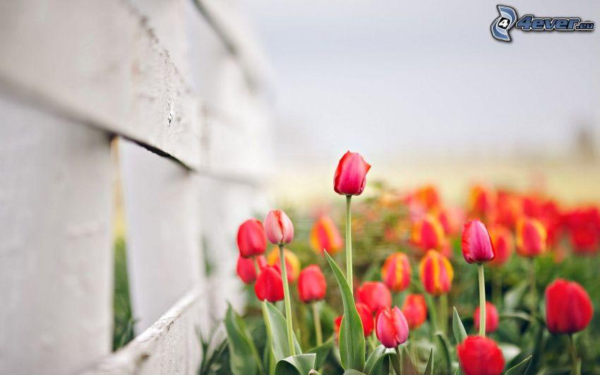 red tulips, palings