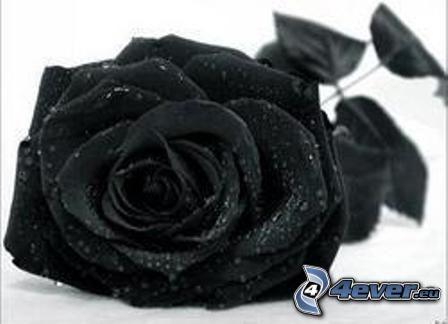 rose, black flower