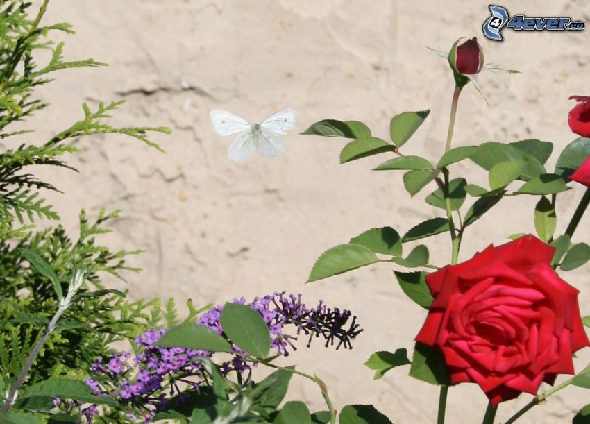 rose, butterfly