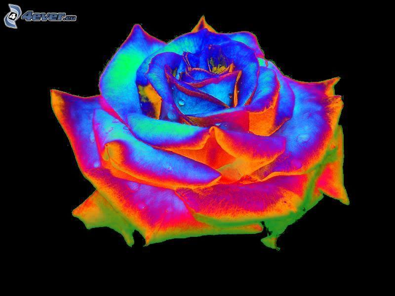 rose, colors