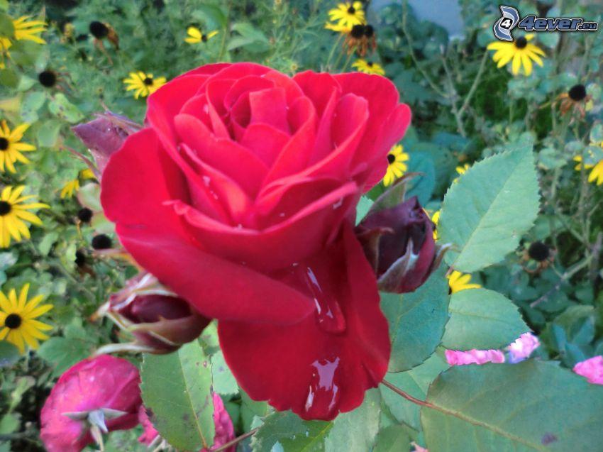 rose, dew, drops of water