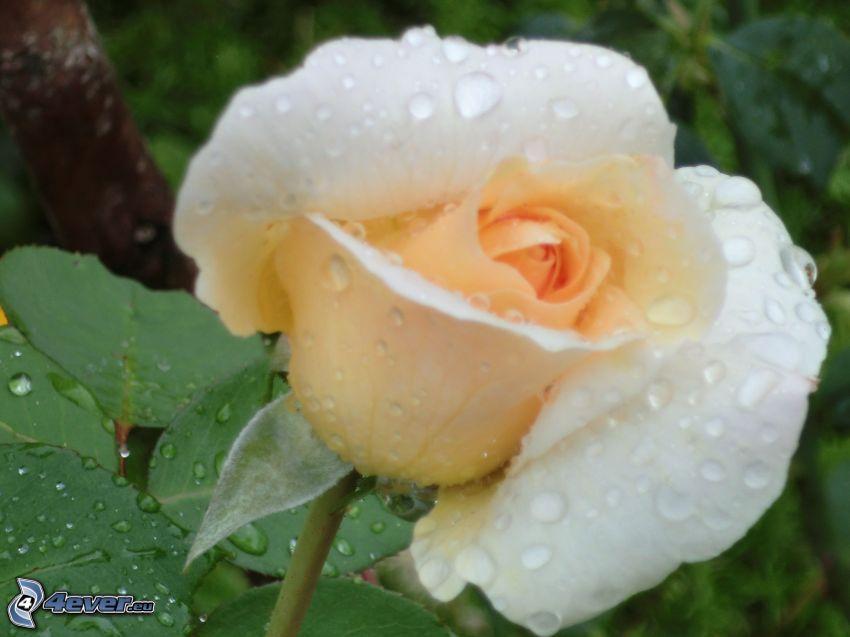 rose, drops of water