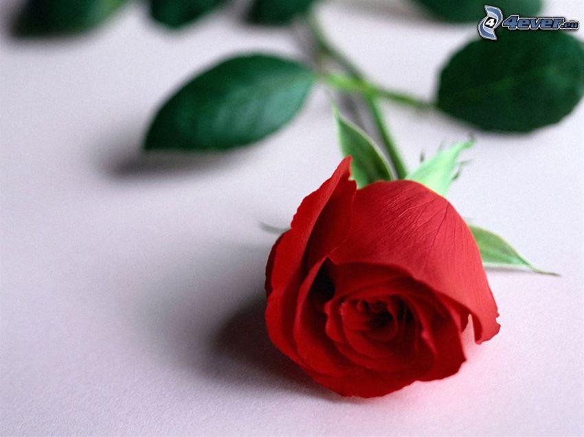 rose, leaf, flower