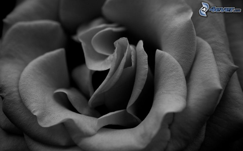 rose, macro, black and white