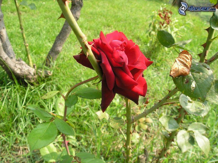 rose, nature