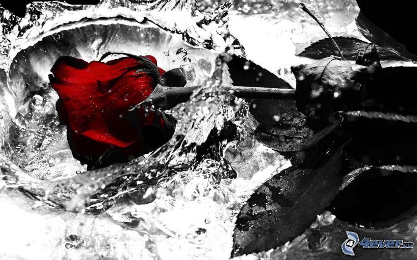 rose, water
