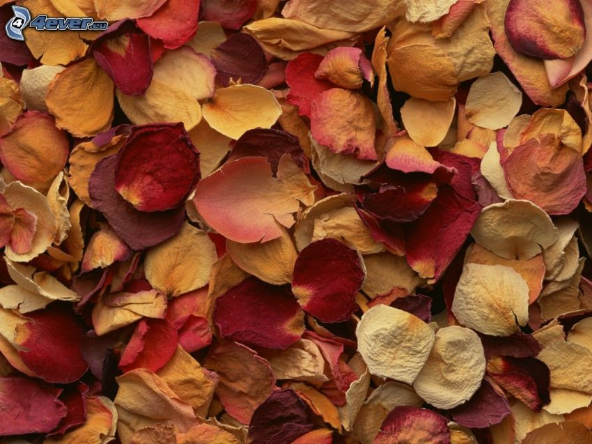 rose petals, dry leaves