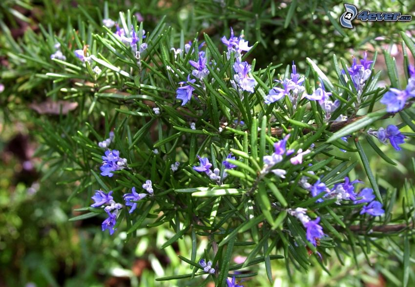 rosemary, blue flowers