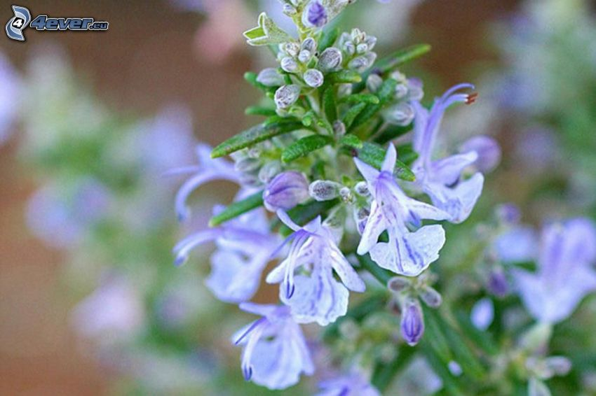 rosemary, purple flowers
