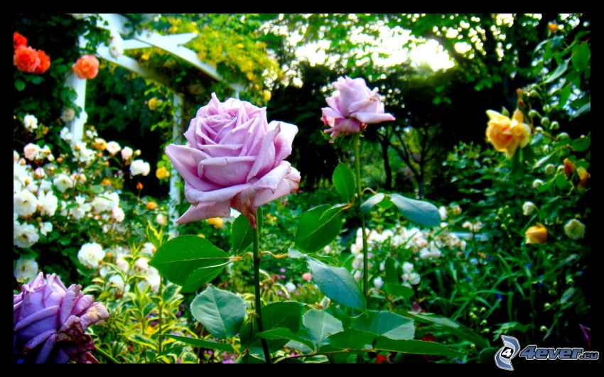 roses, flowers, greenery