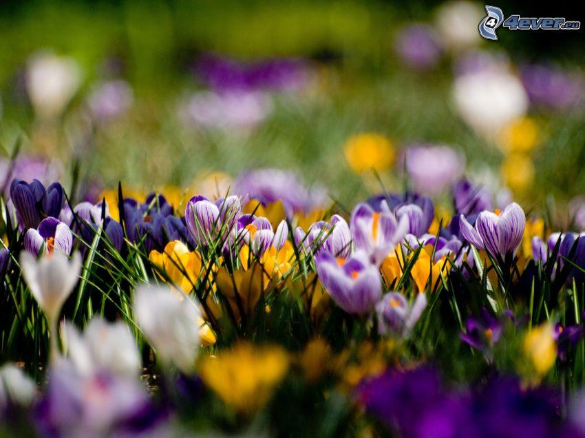saffrons, crocus