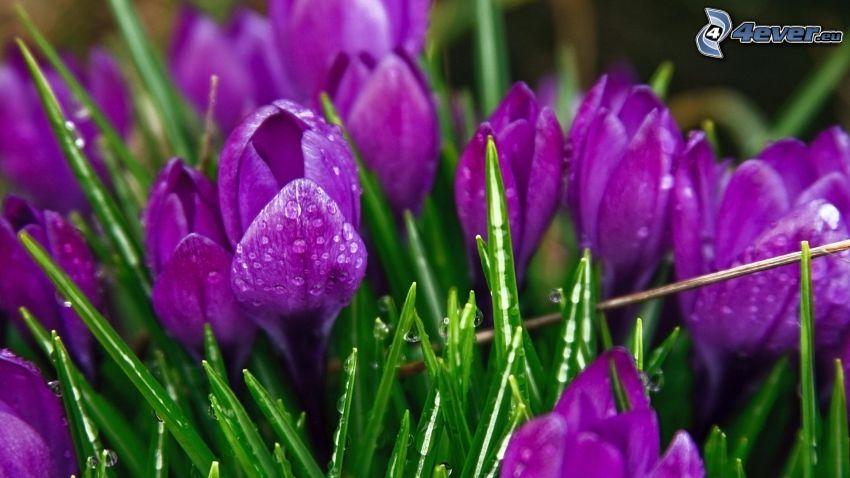 saffrons, grass