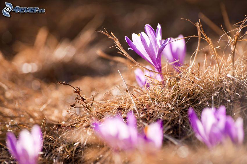 saffrons, purple flowers