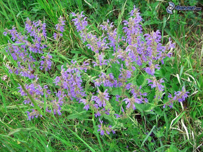 salvia, purple flowers, grass