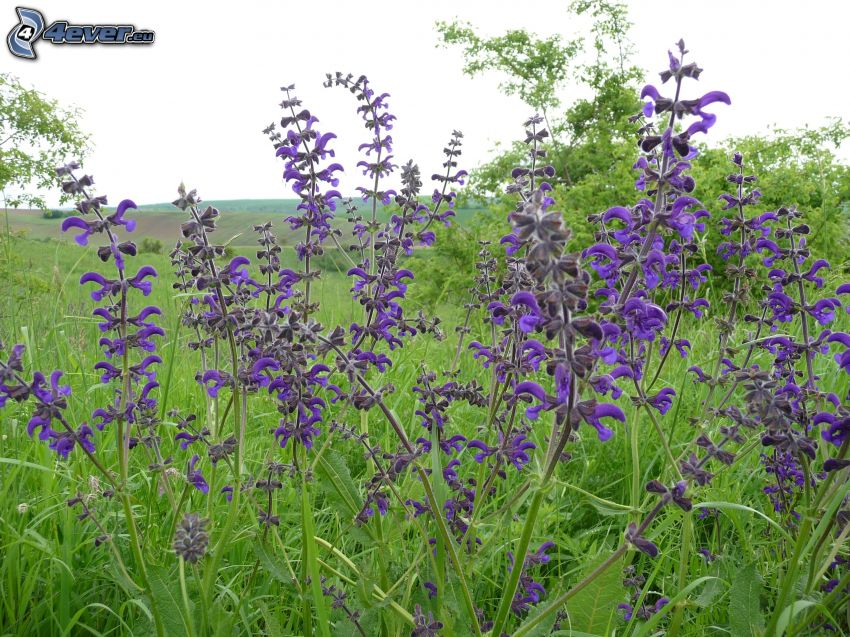 salvia, purple flowers, meadow