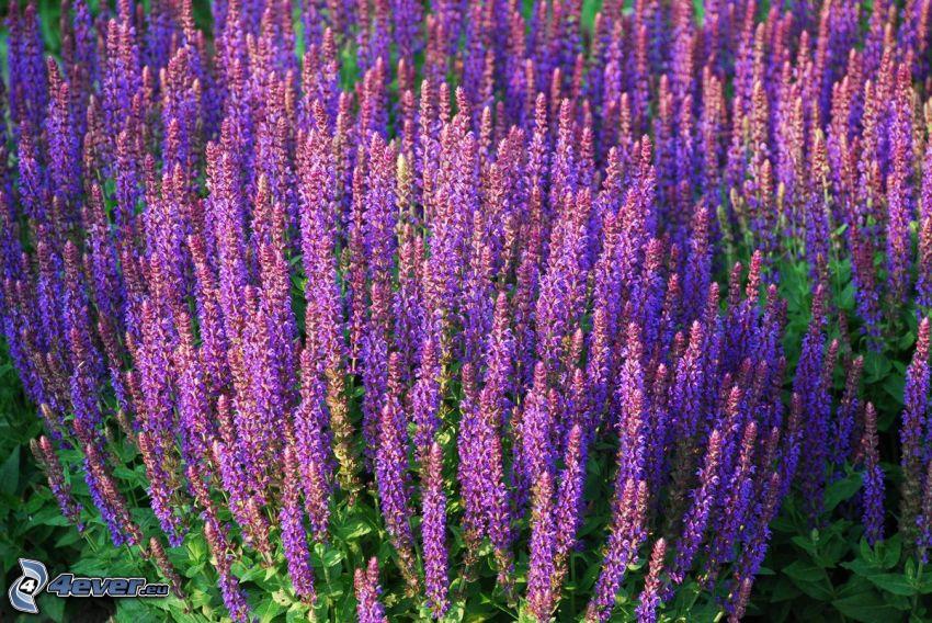 salvia, purple flowers