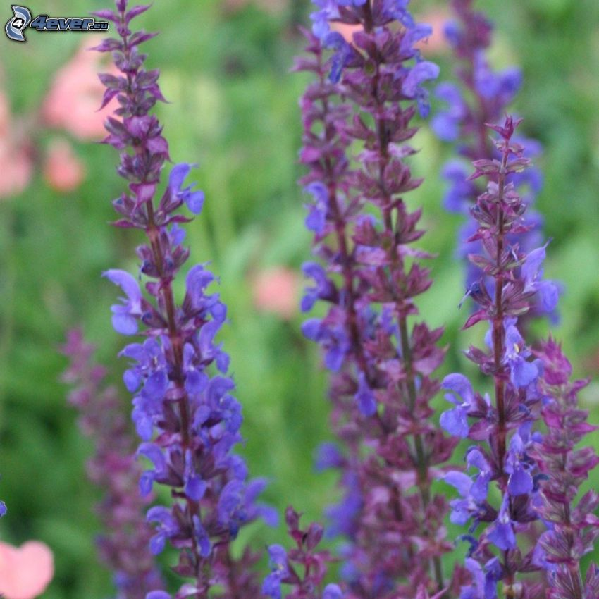 salvia, purple flowers