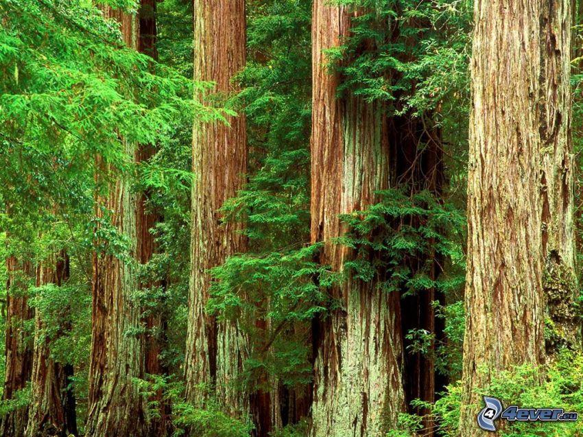 sequoia, coniferous forest, logs, huge trees