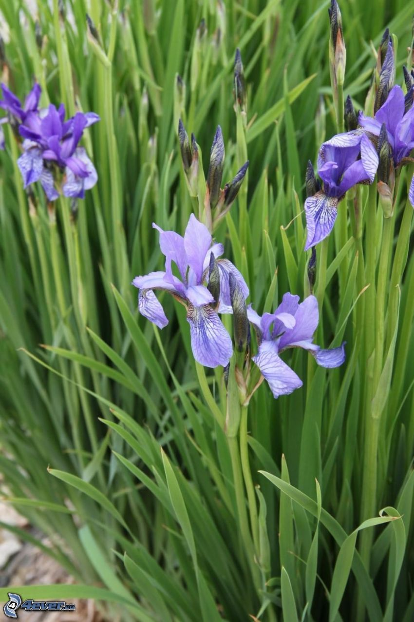 siberian iris, purple flowers, grass
