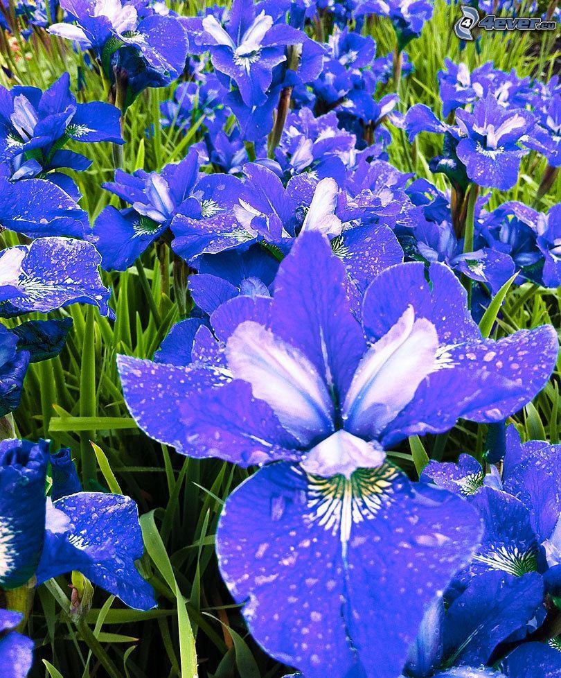 siberian iris, purple flowers