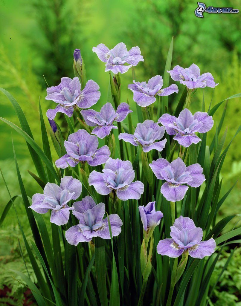 siberian iris, purple flowers