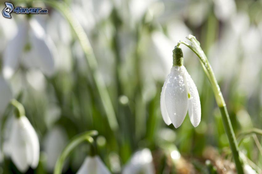 snowdrops, dew