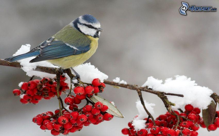 sparrow, mountain-ash, snowy branch