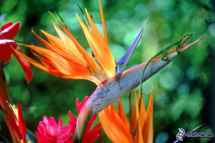 strelitzia, lizard