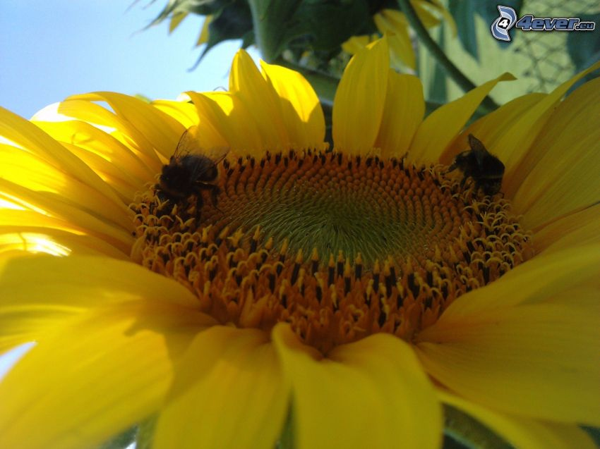 sunflower, bee, flower