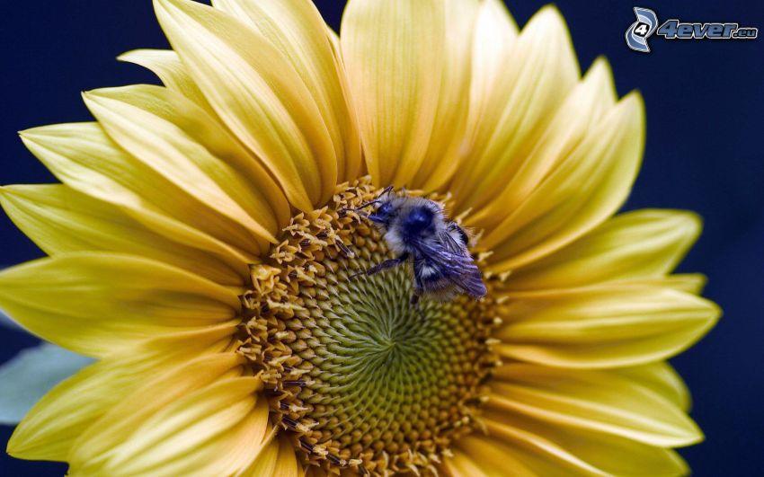 sunflower, bee