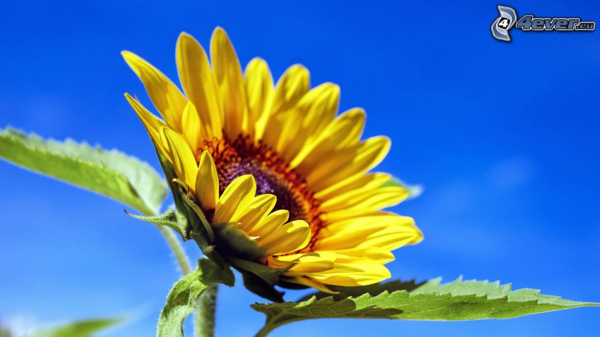 sunflower, green leaves