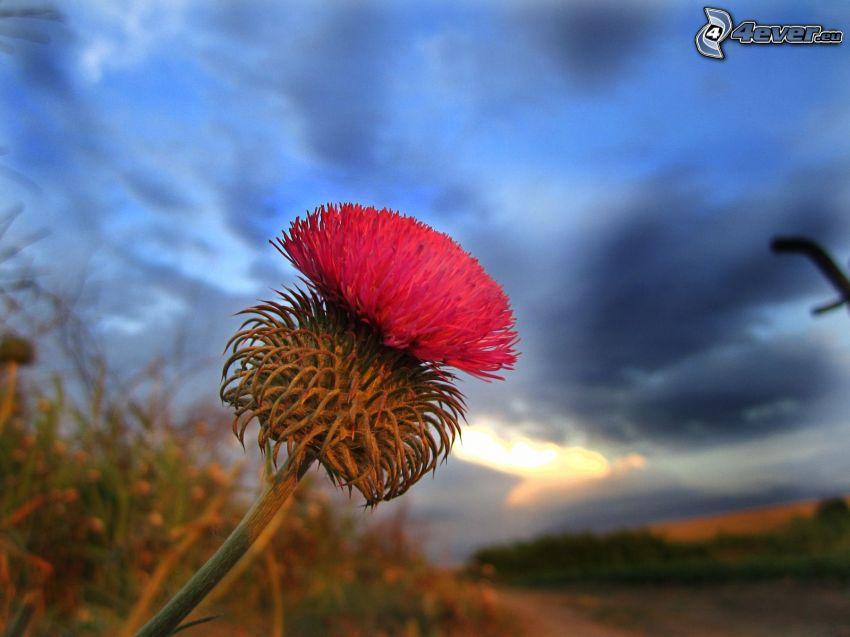 thistle, pink flower
