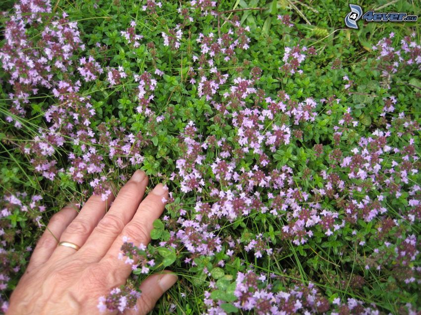 Thyme, hand, ring