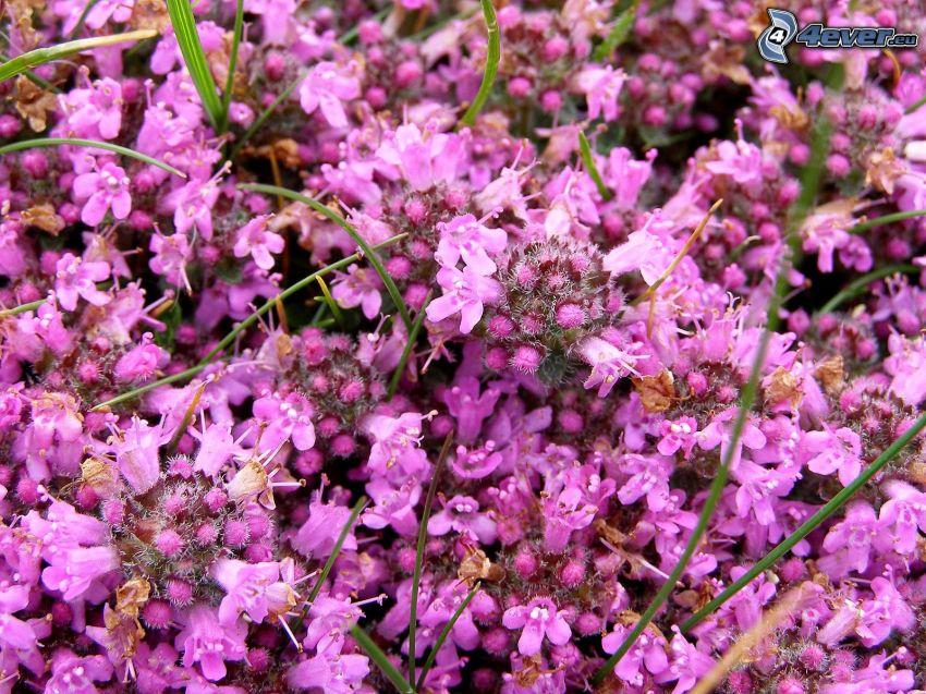 Thyme, purple flowers