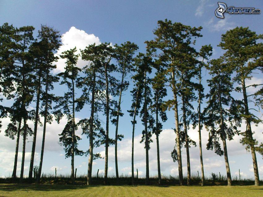 tree line, lawn, coniferous trees, sky