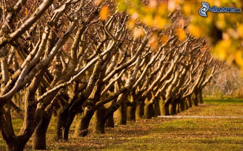 tree line, orchard, autumn leaves