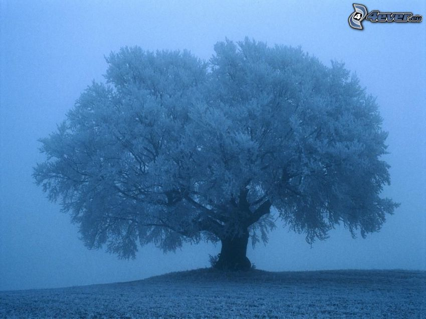 tree over the field, fog, frost
