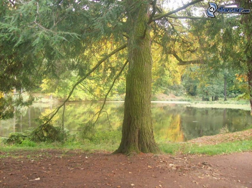 tree over the lake, conifer, water, forest