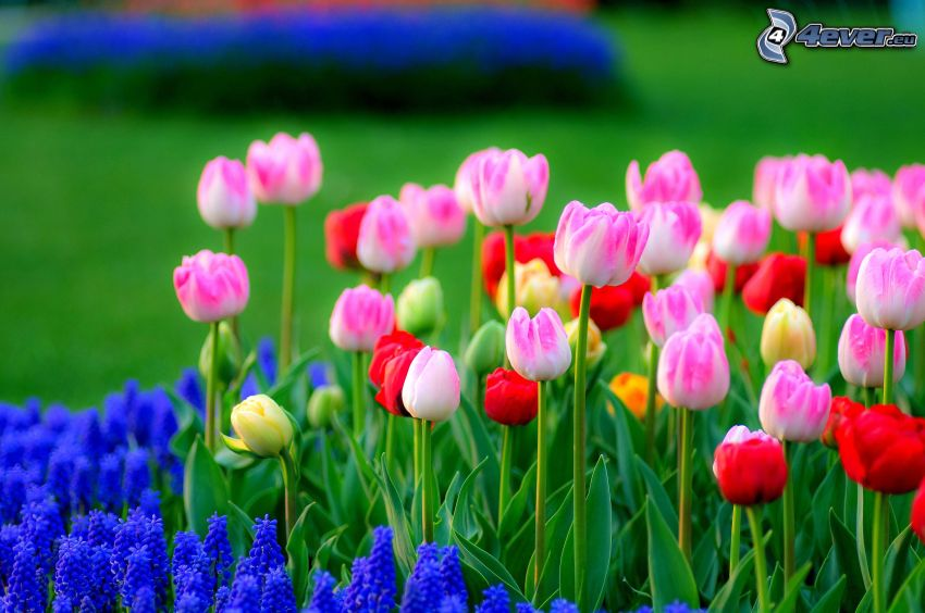 tulips, lupins