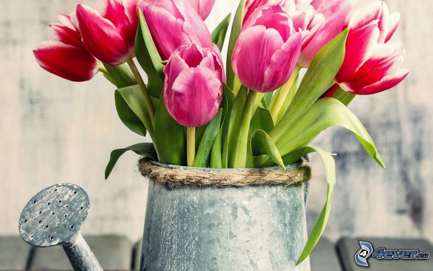 tulips, watering-can