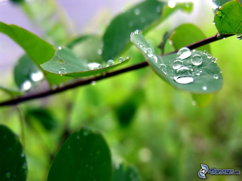 twig, green leaves, drops of rain