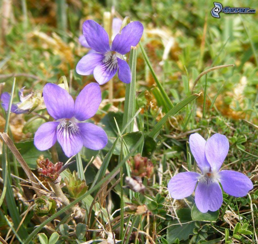 violets, grass