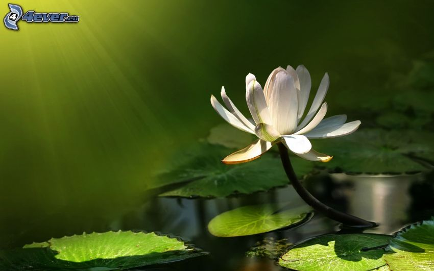 water lilies, white flower, greenery