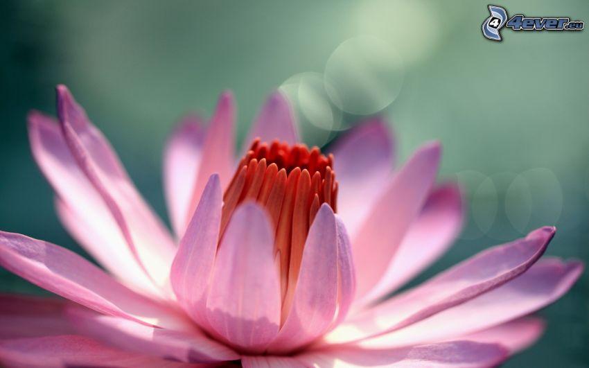 water lily, pink flower, macro