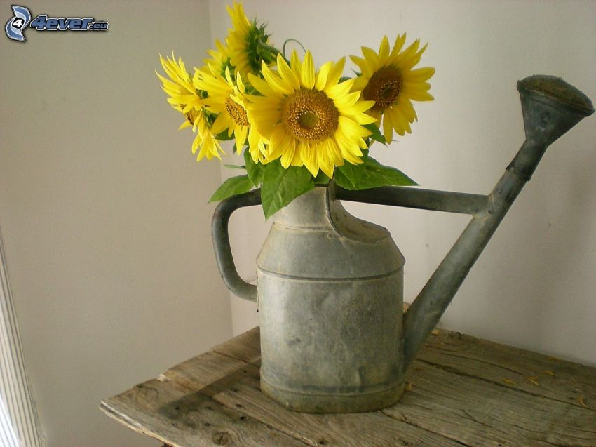 watering-can, sunflowers