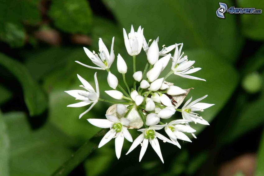 white flowers, wild garlic