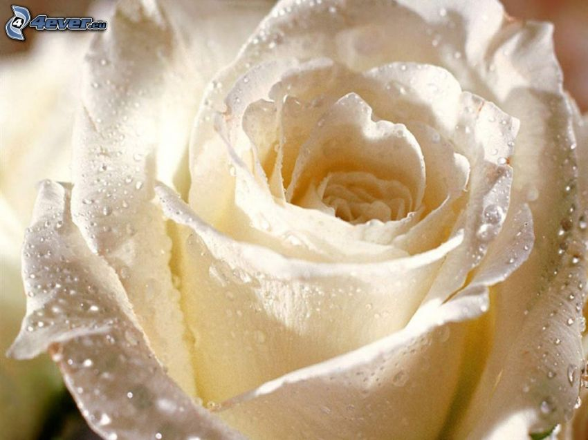 White rose, dew rose